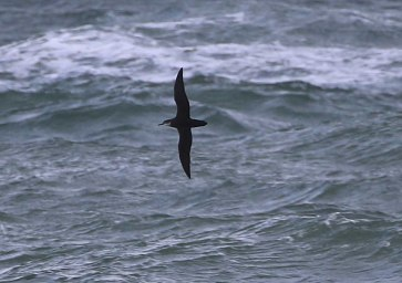 Manx Shearwater, Cley 23rd September