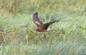 Pallid Harrier, Welney 21st September