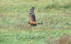Pallid Harrier, Welney 21st September