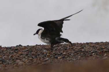 Pomarine Skua, Cley 27th October