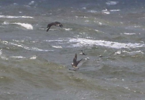 Long-tailed and 3 Pomarine Skua, Cley 27th October