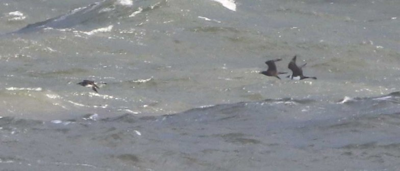 3 Pomarine Skua, Cley 27th October