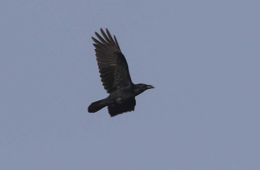Raven, Cockley Cley 7th October