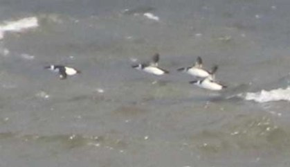 Razorbill. Cley 27th October