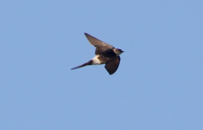 Red-rumped Swallow, Cley. 8th December