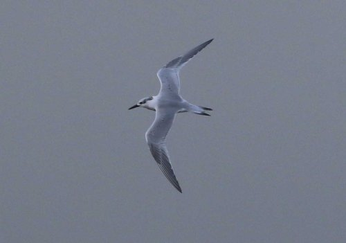 Sandwich Tern, Cley 27th October