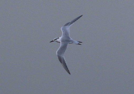 Sandwich Tern, Cley 27th October