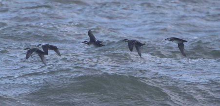 Common Scotor, Cley 27th October