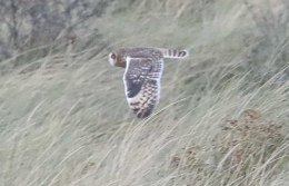 Short-eared Owl, Holme, 28th October