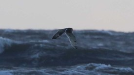 Short-eared Owl, Holme, 28th October