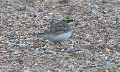 Shore Lark, Holme, 28th October