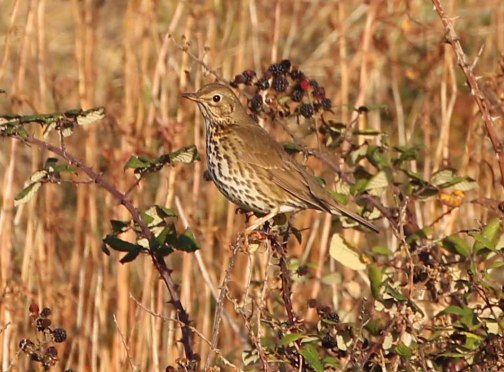 Song Thrush, Burnham Overy Dunes, 18th October