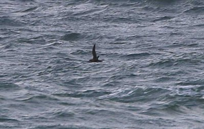 Sooty Shearwater, Cley 23rd September