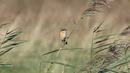 Stejneger's Stonechat, Salthouse, 20th October