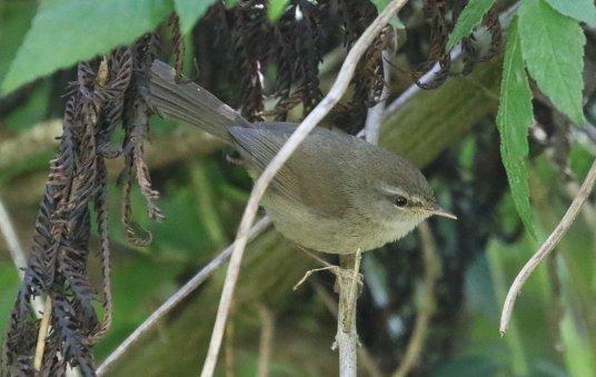 Sunda Bush Warbler, Ijen