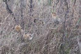 Twite, Thornham Harbour, 1st December