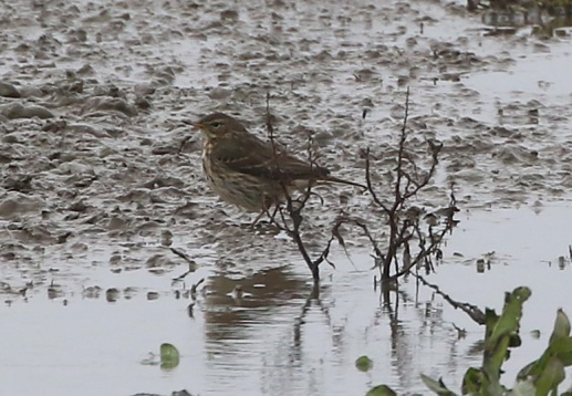 Water Pipit, Titchwell, 1st December