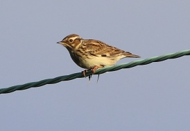 Woodlark, Cockley Cley 2nd December