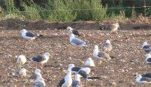 Yellow-legged Gull, Great Cressingham 12th September