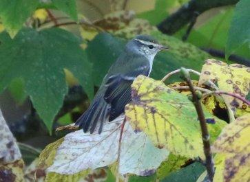 Yellow-browed Warbler, Burnham Overy Dunes, 18th October
