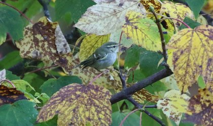 Yellow-browed Warbler, Burnham Overy Dunes, 18th October