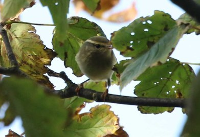 Yellow-browed Warbler, Stiffkey Wood, 8th October