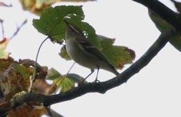 Yellow-browed Warbler, Stiffkey Wood, 8th October