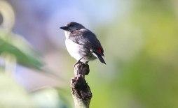 Ashy Flowerpecker