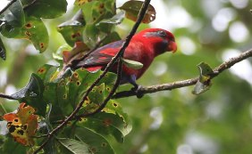 Blue-cheeked Lory