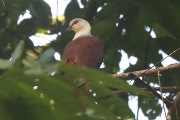 Great Cuckoo-dove