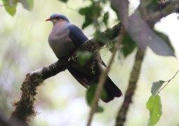 Seram Mountain Pigeon