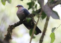 Seram Mountain Pigeon