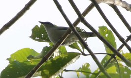Wallacean Cuckoo-shrike