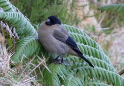Azores Bullfinch