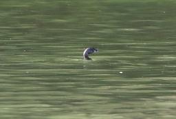 Pied-billed Grebe, second bird