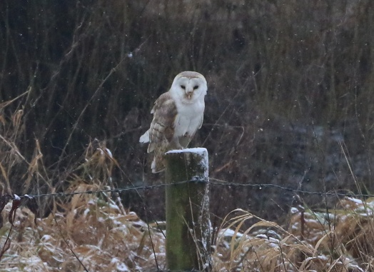 Barn Owl, Cockley Cley 2nd February