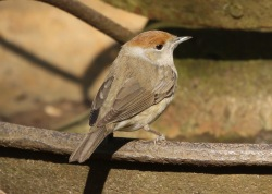 Blackcap, 29th March