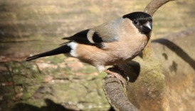 Bullfinch, Lynford 29th March