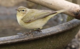 Chiffchaff, Lynford 29th March