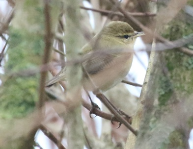 Chiffchaff, Great Cressingham, 1st January