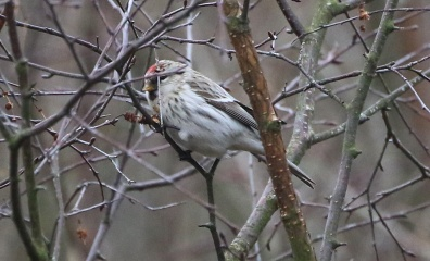 Coues's Arctic Redpoll, Wells, 26th January