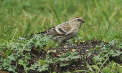 Coues's Arctic Redpoll, Cockley Cley 17th March