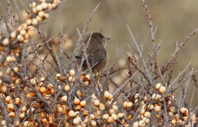 Dartford Warbler, Holkham, 20th January
