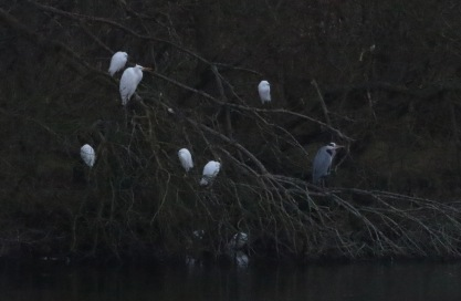 Great and Little Egrets NVF 26th January