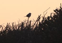 Great Grey Shrike, Gooderstone 10th February