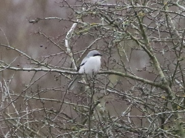 Great Grey Shrike, Santon Downham, 25th January