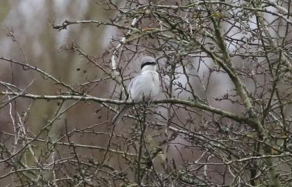 Great Grey Shrike, Santon Downham, 25th January