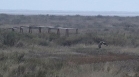 Hen Harrier, Warham 5th January