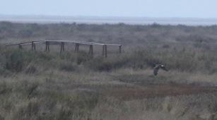 Hen Harrier, Warham 5th January