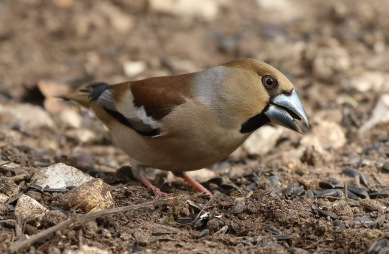 Hawfinch, Lynford 29th March